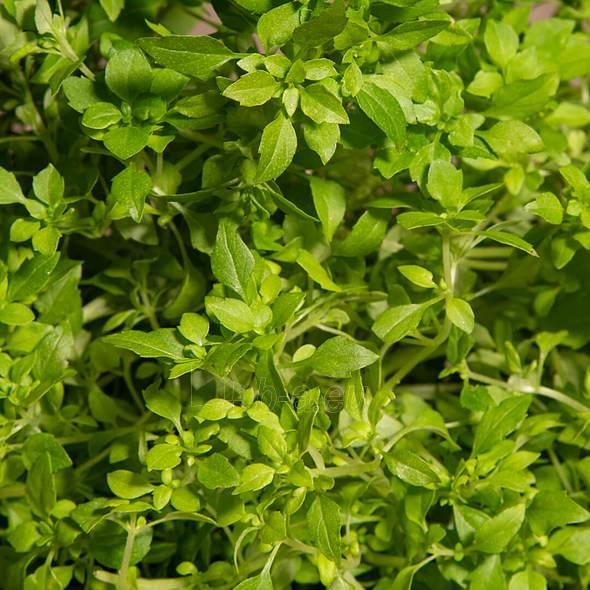 Augalų (sėklų) kapsulės Plantui, Basil Minette (Kvapusis bazilikas) Paveikslėlis 2 iš 5 310820193516