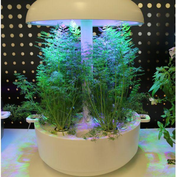 Augalų (sėklų) kapsulės Plantui, Dill (Krapai) Paveikslėlis 4 iš 4 310820193522