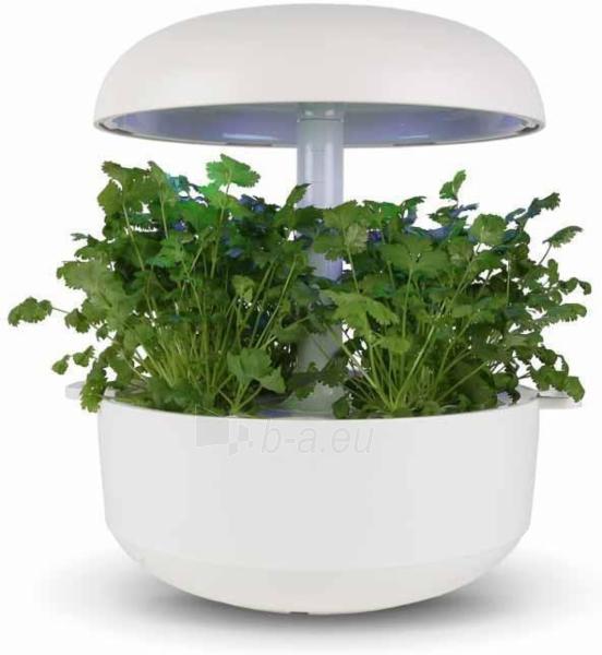 Augalų (sėklų) kapsulės Plantui, Coriander (Kalendra) Paveikslėlis 2 iš 7 310820193524