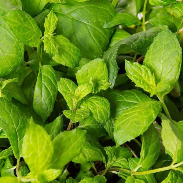 Augalų (sėklų) kapsulės Plantui, Mint (Mėtos) Paveikslėlis 5 iš 10 310820193528