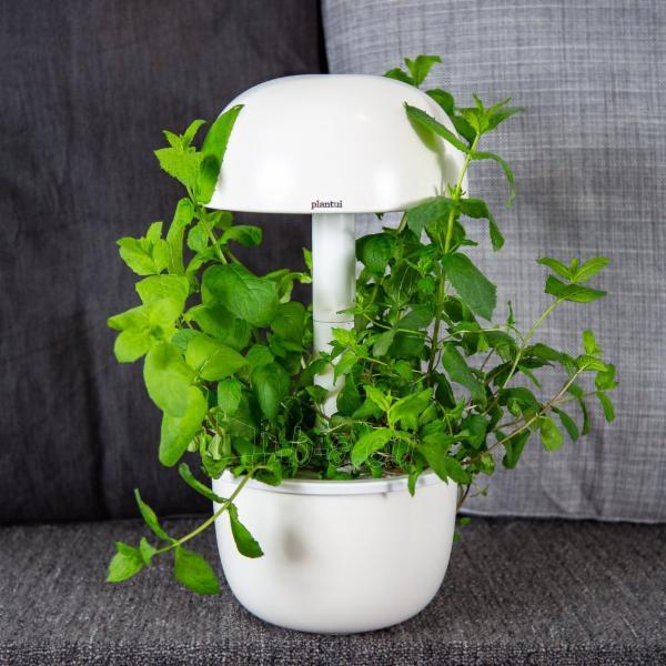 Augalų (sėklų) kapsulės Plantui, Mint (Mėtos) Paveikslėlis 4 iš 10 310820193528