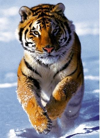 TREFL 37009 Tigras žiema, 500 det. Paveikslėlis 1 iš 2 250710100104
